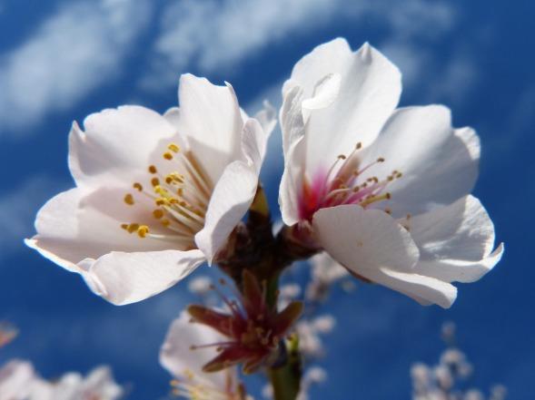 almond-flower-1146338_1920